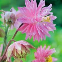 Aguileña común - Pink Barlow - Aquilegia vulgaris