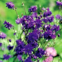 Aguileña común - Blue Barlow - Aquilegia vulgaris