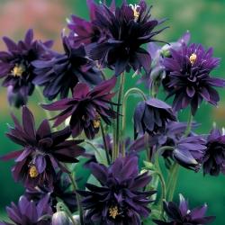 Aguileña común - Black Barlow - Aquilegia vulgaris