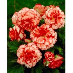 Begonia Marmorata - 2 bulbs
