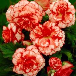 بيجونيا Marmorata - 2 البصلة - Begonia x tuberhybrida