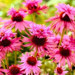 Echinacea, Coneflower Double Decker - čebulica / gomolj / koren - Echinacea purpurea