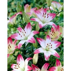 الزنبق ، الزنبق الوردي والأبيض - بصيلة / درنة / جذر - Lilium