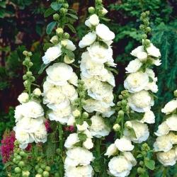 Mályvarózsa  - White - fehér - Althaea rosea