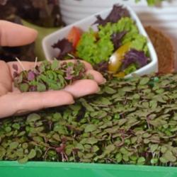 Microgreens - Perilla púrpura - hojas jóvenes con sabor excepcional; Perilla japonesa - 3000 Semillas -