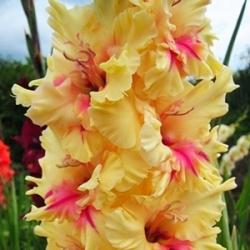 Gladiolas London - 5 gab. Iepakojums - Gladiolus