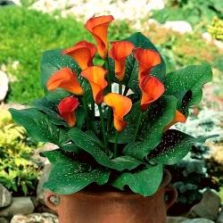 Calla Mango; arum lilija, calla lily -