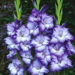 גלדיולוס טריטון - 5 יח ' - Gladiolus Triton