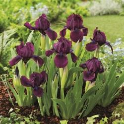 عنبیه پیگی ، Iris pumila - گلهای بنفش - باغ گیلاس؛ عنبیه کوتوله -