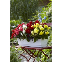 Multi-flower begonia - Multiflora Maxima - colour variety mix - 2 pcs