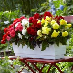 بيجونيا متعددة الزهور - مولتي فلورا ماكسيما - مزيج ألوان متنوعة - 2 قطعة -