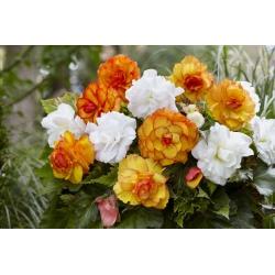 Dupla virág begónia fajtakeverék - sárga-narancs és fehér - 8 db -