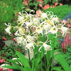 Ismene، Narcissus Festalis پرو - bulb / tuber / root