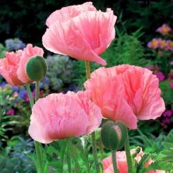 Papaver, Poppy Helen Elisabeth - umbi / umbi / root - Papaver orientale