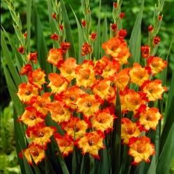 גלדיולוס נסיכה מרגרט רוז - 5 בצל - Gladiolus Princess Margaret Rose