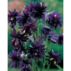 Aquilegia ، كولومبين ، Granny's Bonnet Black Barlow - لمبة / درنة / جذر - Aquilegia vulgaris