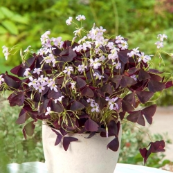 Oxalis Triangularis - 5 lampu
