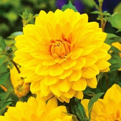 Dahlia Yellow - čebulica / gomolj / koren