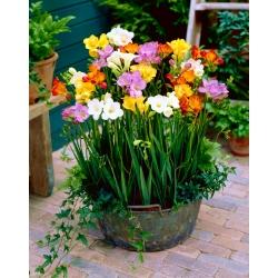 Fresia de una sola flor - selección de color - paquete grande! - 100 piezas -
