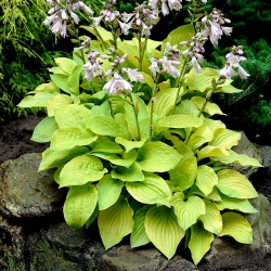Hosta, Plantain Lily August Moon