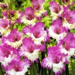 Gladiolas Maggie - 5 gab. Iepakojums - Gladiolus Maggie