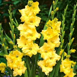 גלדיולוס נובה לוקס - 5 בצל - Gladiolus Nova Lux