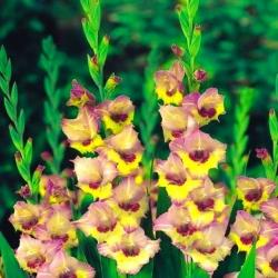 Gladiolas Sapporo - XXL - 5 gab. Iepakojums - Gladiolus