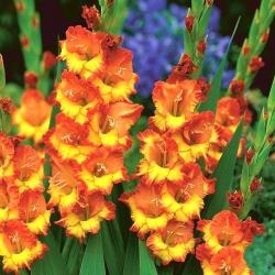 גלדיולוס סאנשיין - 5 בצל - Gladiolus Sunshine