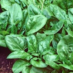 Spinach 'Matador' - 500 g