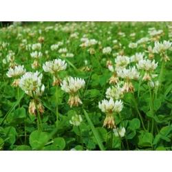 "White clover ""Romena"" - 1 kg; Dutch clover, Ladino clover"