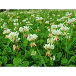 "White clover ""Romena"" - 0.5 kg; Dutch clover, Ladino clover"