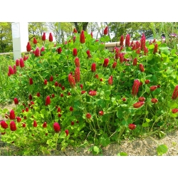 "Crimson clover ""Contea""- 5 kg; Italian clover"