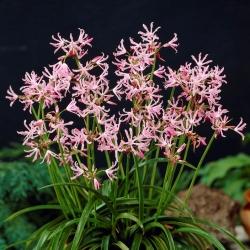 Nerine (Nerine undulata) - 1 miếng -