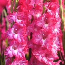 Frizētas rozā ziedu gladiolas - 5 gab. XL izmēra sīpolu -