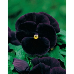 Biji Pansy Black King - Viola x wittrockiana - 320 biji - benih