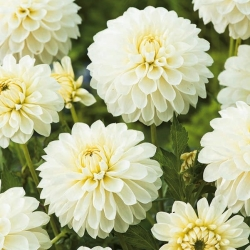 Dahlia White - čebulica / gomolj / koren