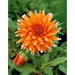 Dahlia Color Spectacle - bebawang / umbi / akar