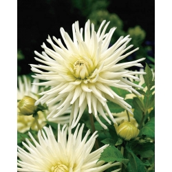 Dahlia Cactus White - bebawang / umbi / akar