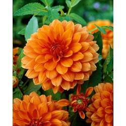 Dahlia Orange - bebawang / umbi / akar
