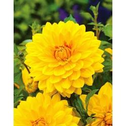 Dahlia Yellow - bebawang / umbi / akar