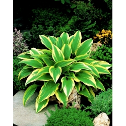 Hosta, Plantain Lily Aureomarginata
