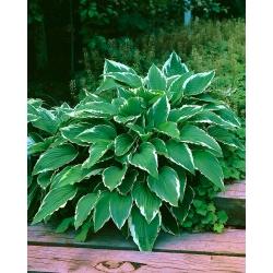 Hosta, Plantain Lily Crispula