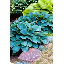 Hosta, Plantain Lily Halcyon