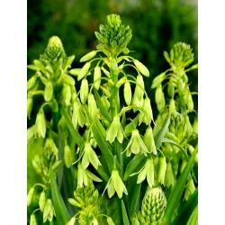 Galtonia Viridiflora - bebawang / umbi / akar