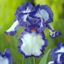 Iris germanica آبی و سفید - لامپ / غده / ریشه