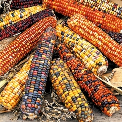 Ornamental Corn, Ornamental Maize mix seeds - Zea mays