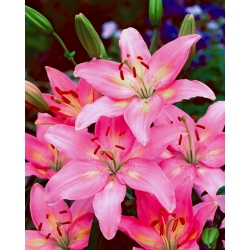 Pink Asiatic lily - Pink - Large Pack! - 15 pcs.