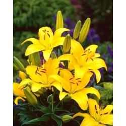 Lilium, Lily Asiatic Kuning - bebawang / umbi / akar - Lilium Asiatic White