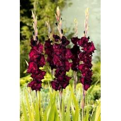 Gladiolas Black Star - 5 gab. Iepakojums - Gladiolus Black Star