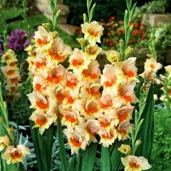 Gladiolas Bocelli - 5 gab. Iepakojums - Gladiolus